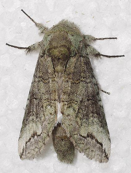 moth - Heterocampa astartoides