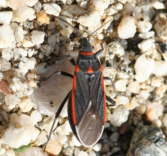 black and red bug - Melacoryphus lateralis