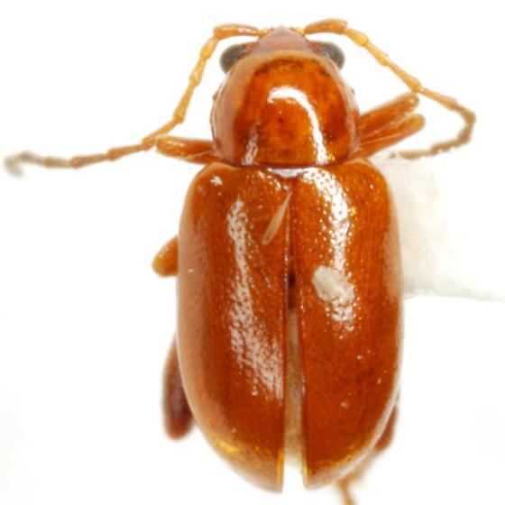 Longitarsus subrufus LeConte - Longitarsus subrufus