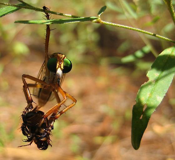 Hanging Thief Robber Fly - Diogmites esuriens - Diogmites esuriens