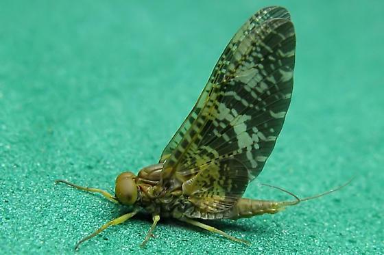 Mayfly - Baetisca - male