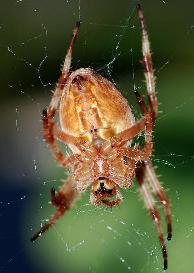 female cross spider in web - Araneus diadematus - female
