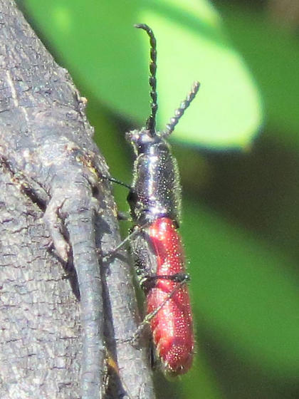 Unknown Beetle - Ancylocera bicolor