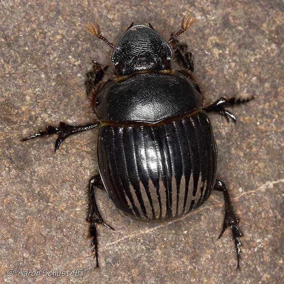 Reflective Stripes Beetle - Dichotomius colonicus