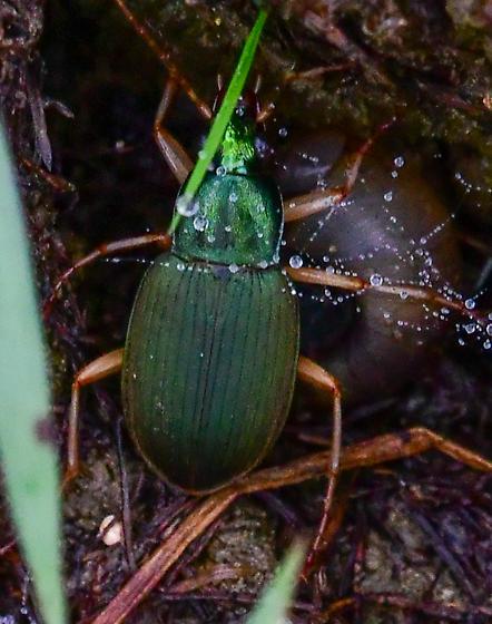 Chlaenius sericeus? metallic green ground beetle - Chlaenius sericeus