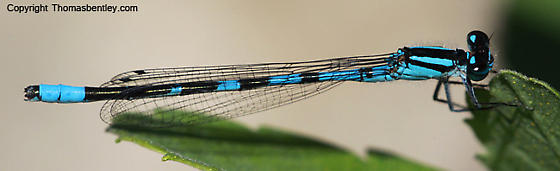 Damselfly - Enallagma hageni