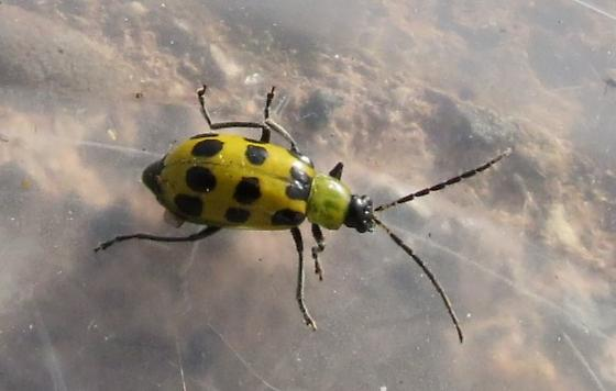 Yellow Beetle - Diabrotica undecimpunctata