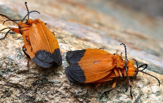 Lycus arizonensis? - Lycus arizonensis - male - female