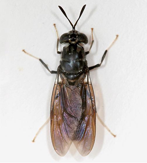 BG659 Fly - Hermetia illucens