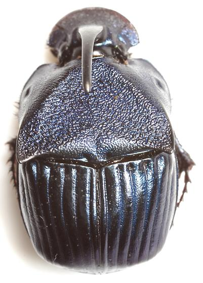 Phanaeus adonis Harold - Phanaeus adonis - male