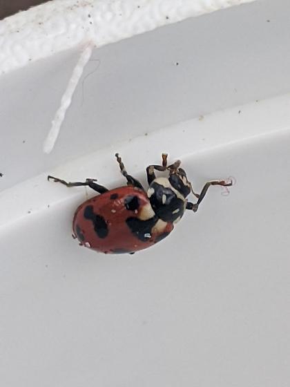Black-spotted Lady Beetle - Hippodamia