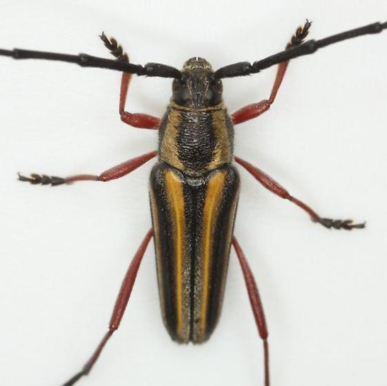 Sphaenothecus bivittata Dupont - Sphaenothecus bilineatus