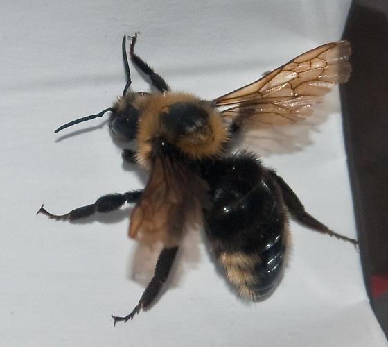 Bombus (Psythirus) insularis? - Bombus variabilis - female