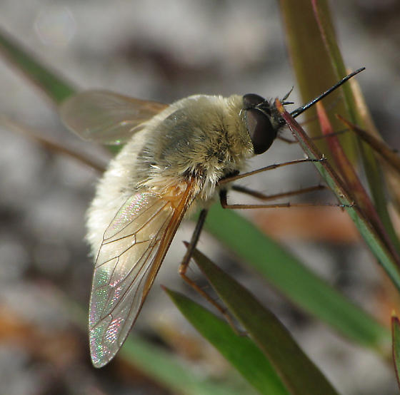Beefly - Systoechus candidulus