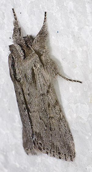 moth - Supralathosea baboquivariensis
