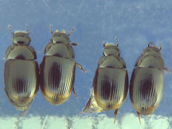 Wrack-heap Hydrophilidae - Cercyon littoralis