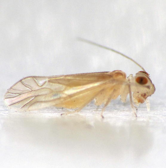Pale barklouse with large, red, oval eyes - Stenocaecilius casarum