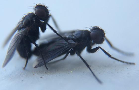Melanophora roralis - male - female