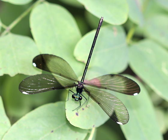 Jewelwing - Calopteryx maculata - female