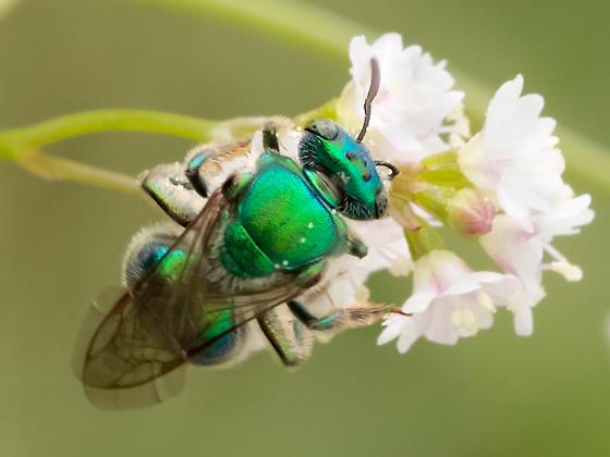 Green metallic Bee - Augochloropsis metallica - female