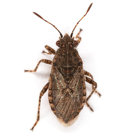 unknown bug - Arhyssus scutatus