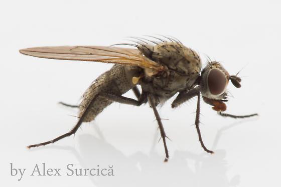 Seed/root maggot - Anthomyiidae - Delia - female