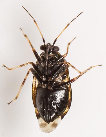 Plant Bug - Deraeocoris ornatus - female
