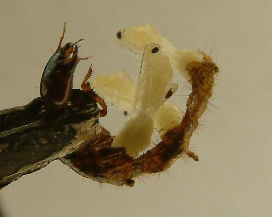 wasp-parasitized rove larva - Exallonyx