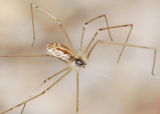 Attack of the Pseuton Spiders! Could This Be Their Leader? - Holocnemus pluchei