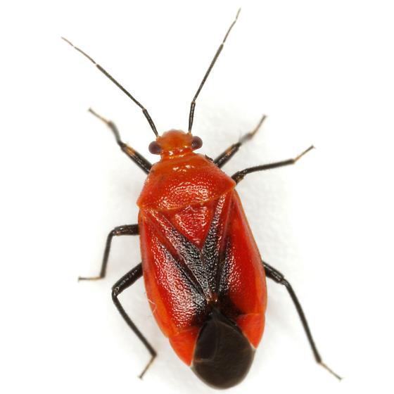 Tropidosteptes cardinalis Uhler - Tropidosteptes cardinalis