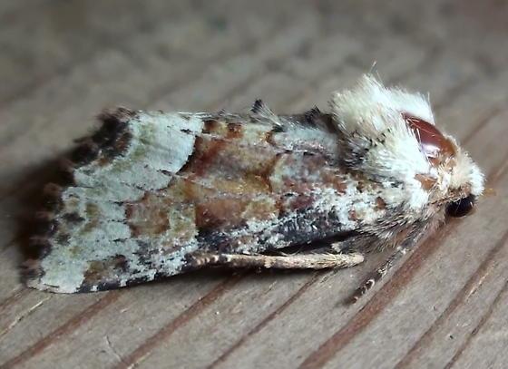 Noctuidae: Oligia egens - Oligia egens