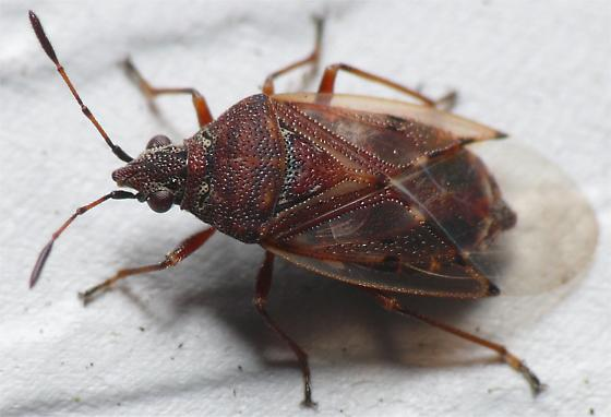 Is this some kind of stink bug? - Kleidocerys resedae