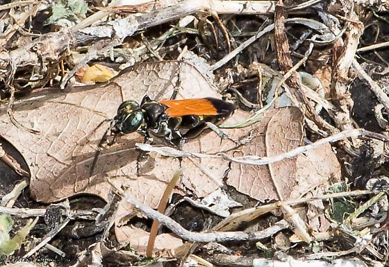 wasp - Liris partitus - female