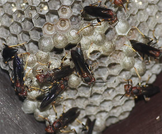 Paper Wasps - Polistes metricus