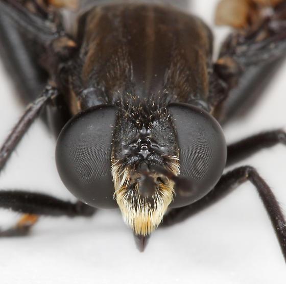BG2797 E1923 - Mydas chrysostomus - male