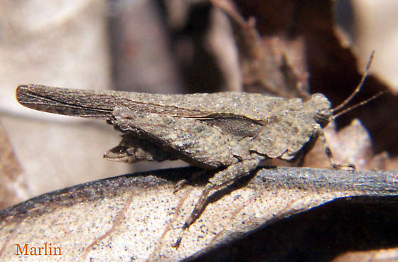 Pygmy Grasshopper - Tetrix arenosa - female