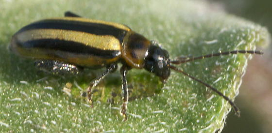 Leaf Beetle with Gold and Black Stripes - Systena