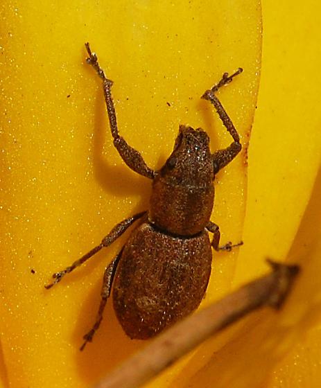 Entiminae - Naupactus cervinus