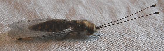 Owlfly? - Ululodes macleayanus