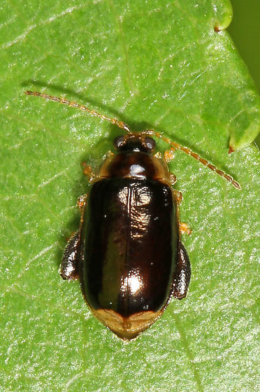 tiny dark beetle? with light colored end of elytra - Capraita obsidiana