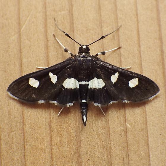 Crambidae: Desmia maculalis - Desmia maculalis - male
