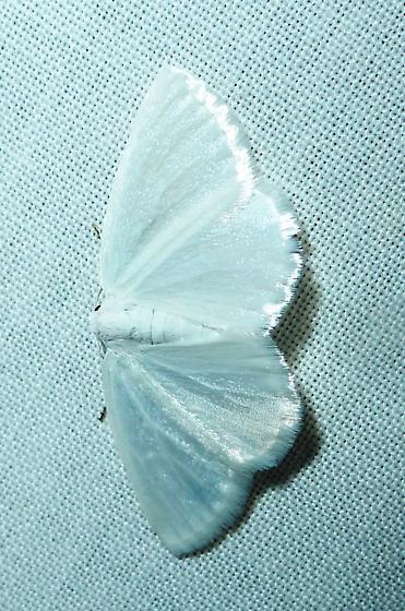 unknown moth #17 - Lomographa vestaliata