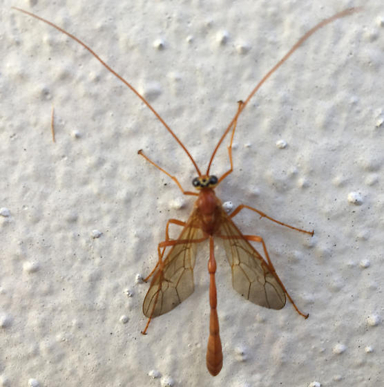 Large Flying Insect - Enicospilus