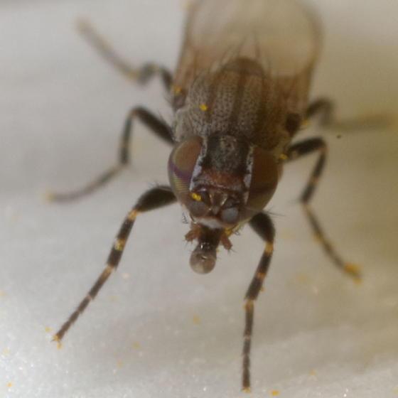 Face - Leptometopa latipes - female