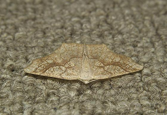moth small brown tan w/scalloped wings/is this a male or female; what are common and latin name? - Besma quercivoraria