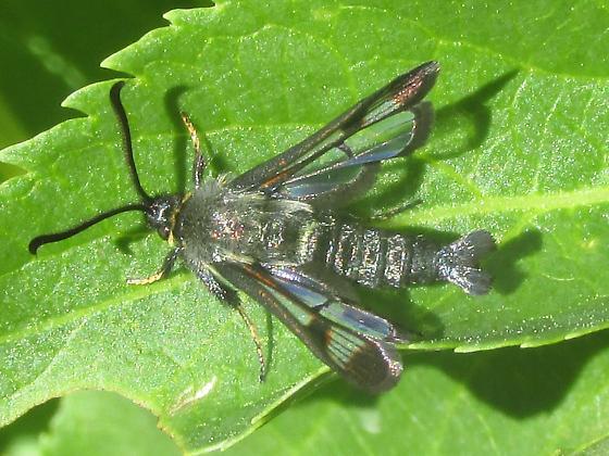 Sesiidae - Albuna pyramidalis