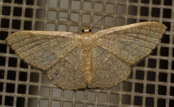 Common Tan Wave -  - Pleuroprucha insulsaria - female
