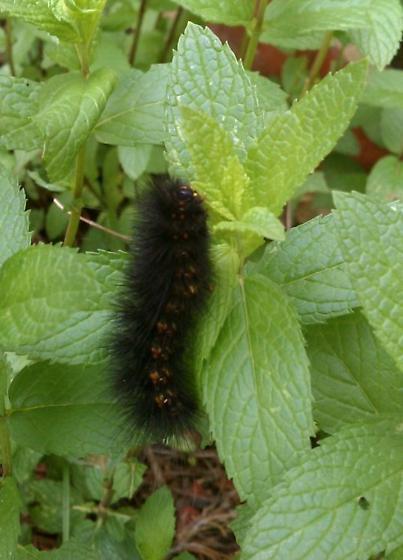 Black Bristly Caterpillar