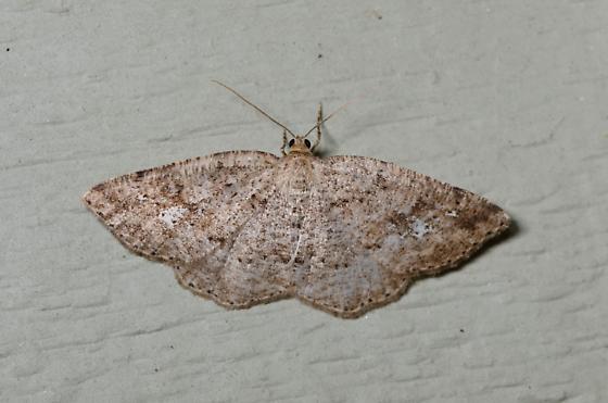moth - Homochlodes fritillaria