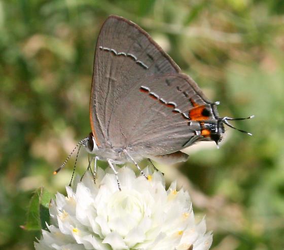 Gray Hairstreak - Strymon melinus - male